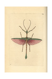 Dragon Stick Insect, Haplopus Jamaicensis Giclee Print by George Shaw