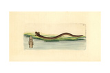 Mole Lizard, Bipes Canaliculatus Giclee Print by Richard Nodder