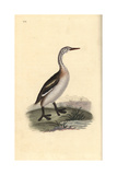 Great Crested Grebe, Podiceps Cristatus Giclee Print by Edward Donovan