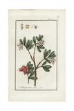 Bearberry, Arbutus Uva-Ursi Giclee Print