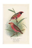 Red-Billed Quelea, Quelea Quelea Giclee Print by Frederick William Frohawk