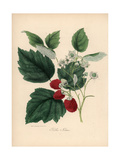Common Raspberry, Rubus Idaeus Giclee Print by M.A. Burnett