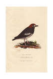 Ava Thrush, Geocichla Avensis Giclee Print by Charles Hamilton Smith