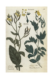 Field Mustard, Sinapis Arvensis, and White Mustard, Sinapis Alba Giclee Print