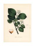 Strychnine Tree, Strychnos Nux-Vomica Giclee Print by M.A. Burnett