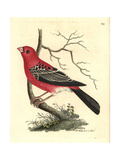 Pine Grosbeak, Pinicola Enucleator Reproduction procédé giclée par Richard Nodder