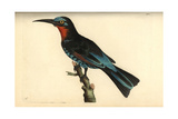 Black Bee-Eater, Merops Gularis Giclee Print by George Shaw