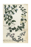 Wood Willowherb, Money Willowherb and Bog Pimpernel Giclee Print