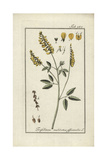 Melilot or Sweet-Clover, Melilotus Officinalis Giclee Print