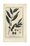 Bay Laurel or Sweet Laurel, Laurus Nobilis Giclee Print