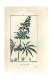 Hemp or Marijuana, Cannabis Sativa Reproduction procédé giclée par Pierre Turpin