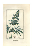 Hemp or Marijuana, Cannabis Sativa Giclee Print by Pierre Turpin