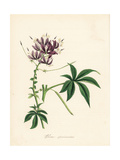 Showy or Garden Spiderflower, Cleoserrata Speciosa Giclee Print by M.A. Burnett