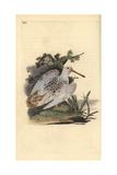 Eurasian Pied-White Woodcock, Scolopax Rusticola Giclee Print by Edward Donovan