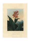 Indian Reed, Canna Indica Giclee Print by Peter Henderson