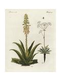 Aloe Vera and Asafoetida, Ferula Assafoetida Giclee Print