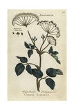 Common Goutweed, Aegopodium Podagrarium Giclee Print