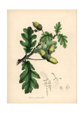 English Oak Tree, Quercus Robur Giclee Print by M.A. Burnett