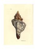 Trapezium Horse Conch, Pleuroploca Trapezium Giclee Print by Richard Nodder