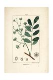 Marupa or Bitterwood, Simarouba Amara Giclee Print by Pierre Turpin