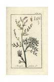 Judean Wormwood, Artemisia Judaica Giclee Print