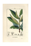 Sweet Chestnut Tree, Castanea Sylvestris Giclee Print by Pierre Turpin