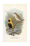 Yellow-Crowned Bishop, Euplectes Afer Giclee Print by Frederick William Frohawk