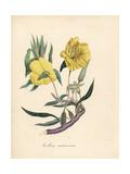 Missouri Primrose, Megapterium Missouriense Giclee Print by M.A. Burnett