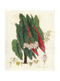 Polka Dot Begonia, Begonia Maculata Giclee Print by William Jackson Hooker