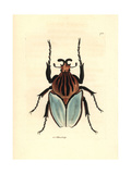 Goliath Beetle Species, Golathus Cacicus Giclee Print by Richard Nodder