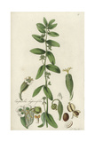 Graceful Spurge, Euphorbia Hypericifolia Giclee Print by William Jackson Hooker