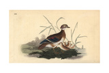 American Wood Duck (Female and Young), Aix Sponsa Giclee Print by Edward Donovan