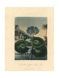 Blue Egyptian Water Lily, Nymphaea Caerulea Giclee Print by Peter Henderson