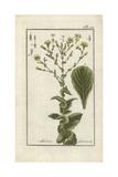 Lettuce, Lactuca Sativa Giclee Print