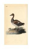 Gadwall (Male), Anas Strepera Giclee Print by Edward Donovan