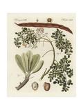 Shea Butter Tree, Vitellaria Paradoxa, and Ben Nut, Moringa Oleifera Giclee Print