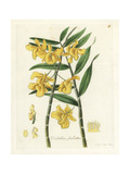 Fringed-Lipped Dendrobium Orchid, Dendrobium Fimbriatum Giclee Print by William Jackson Hooker