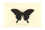 Paris Peacock Butterfly, Papilio Paris Giclee Print by Richard Nodder