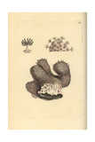 Dead Men's Fingers, Alcyonium Digitatum Giclee Print by Frederick Nodder