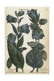 Broad Leaved Bellflower and Throatwort Bellflower Giclee Print