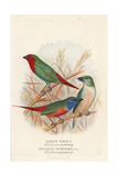 Red-Throated Parrot Finch and Pin-Tailed Parrot Finch Giclee Print by Frederick William Frohawk