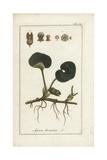 Asarabacca or European Wild Ginger, Asarum Europaeum Giclee Print