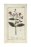 Quinine Bark Tree, Cinchona Officinalis Giclee Print