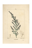 Wormseed or Tatarian Southernwood, Artemisia Santonicum Giclee Print by Pierre Turpin
