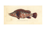 Variegated Wrasse, Labrus Tinca Giclee Print by Richard Nodder