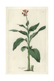 Giant Canna, Canna Tuerckheimii Giclee Print by William Jackson Hooker