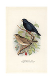 Village Indigobird, Vidua Chalybeata Giclee Print by Frederick William Frohawk