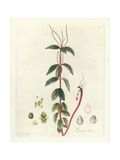 Villous Peperomia or Radiator Plant, Peperomia Blanda Giclee Print by William Jackson Hooker