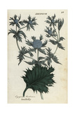 Sea Holly, Eryngium Maritimum Giclee Print