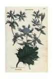 Sea Holly, Eryngium Maritimum Giclee Print